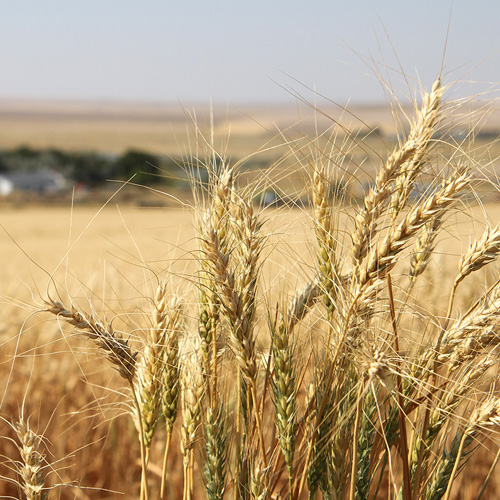 our-food-wheat-field