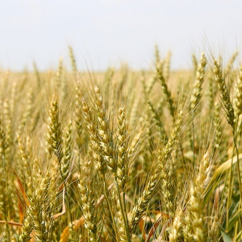 Image of montana wheat golden from triangle family farms